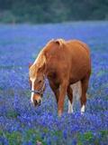 Horse Standing Among Bluebonnets Stampa fotografica di Gulin, Darrell