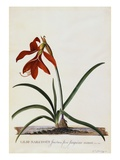 Jacobean Lily Giclee Print by Georg Dionysius Ehret