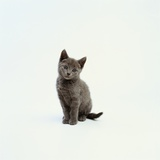 Gray Kitten Photographic Print by Pat Doyle