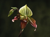 Hybrid Orchid Photographic Print by Robert Marien