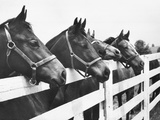 Horses Looking Over Fence at Alfred Vanderbilt&#39;s Farm Photographic Print by Jerry Cooke