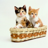 Kittens Sitting in Basket Photographic Print by Pat Doyle