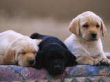 Labrador Retriever Puppies Photographic Print by Chase Swift