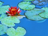 Lily Pads and Flower Blossom Photographic Print by Cindy Kassab