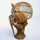 Kitten Sitting on Chair Photographic Print by Pat Doyle