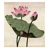 Lotus Blossom - 1 Giclee Print by Robert McIntosh
