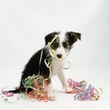 Lurcher Puppy and Streamers Photographic Print by Pat Doyle