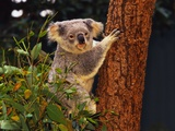 Koala in Tree Lmina fotogrfica por L. Clarke