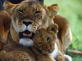 Lioness with Cub Fotografisk tryk af Joe McDonald