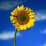 Lone Sunflower Photographic Print by Mark Karrass