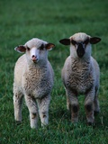 Lambs in the Grass Photographic Print