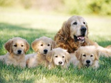 Mother Dog and Puppies Lmina fotogrfica por Stan Fellerman