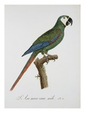 Male Blue-Winged Macaw Giclee Print by Jacques Barraband