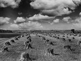 Midwestern Wheat Field at Harvest Time Photographic Print by  Bettmann