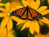 Monarch Butterfly on Yellow Flower Photographic Print by Darrell Gulin