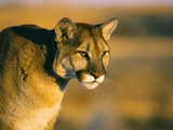 Mountain Lion Photographic Print by Chase Swift