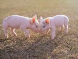 Piglets Snout to Snout Fotografická reprodukce