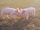 Piglets Snout to Snout Photographic Print
