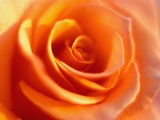 Peach Rose Photographic Print by David Papazian