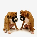 Pair of Boxer Puppies Photographic Print by Pat Doyle