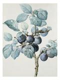 Plum Tree Branch by Pierre Joseph Redoute Reproduction procédé giclée