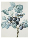 Plum Tree Branch by Pierre Joseph Redoute Giclee Print