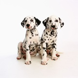 Pair of Dalmatian Puppies Photographic Print by Pat Doyle