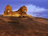Pair of Male African Lions at Dawn Photographic Print by Joe McDonald