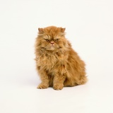 Persian Longhair Cat Photographic Print by Pat Doyle