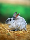 Rabbit Sitting on Bale of Straw Photographic Print by Chase Swift