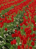 Red Tulips Photographic Print by Robert Marien