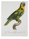 Print of an Amazon Parrot by Jacques Barraband Giclee Print by  Stapleton Collection