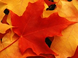 Red and Yellow Maple Leaves Photographic Print by Robert Glusic