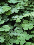 Redwood Sorrel Photographic Print by Robert Marien