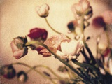 Ranunculus No.2 Photographic Print by Jennifer Kennard