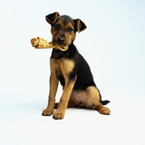 Puppy Holding a Bone Photographic Print by Pat Doyle