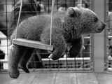Princess Anne's Bear on His Swing Photographic Print