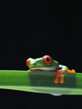 Red-Eyed Tree Frog Photographic Print by Chase Swift