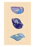Shells by Steve Collier Giclee Print by Steve Collier