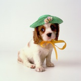 Spaniel Puppy Wearing Ribbon and Hat Photographic Print by Pat Doyle