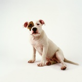 Staffordshire Bull Terrier Puppy Photographic Print by Pat Doyle