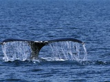 Tail of Humpback Whale Photographic Print by Robert Marien