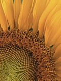 Sunflower Photographic Print by Robert Marien