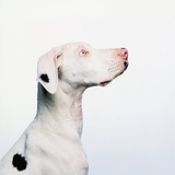 Spotted Great Dane with Blue Eyes Photographic Print by Pat Doyle