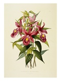 Sobralia Macrantha Giclee Print by James Bateman
