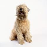 Soft-Coated Wheaten Terrier Photographic Print by Pat Doyle