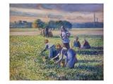 Il raccolto dei piselli Stampa giclée di Camille Pissarro