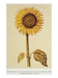 The Sunflower Premium Giclee Print by Nicolas Robert