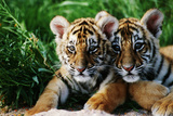 Two Siberian Tiger Cubs Fotografisk tryk af W. Perry Conway