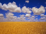 Wheat Field Lmina fotogrfica por Robert Glusic